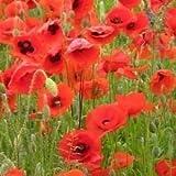 JustSeed Saatgut, Wildblume, Klatschmohn/ Papaver rhoeas, 20.000 Samen