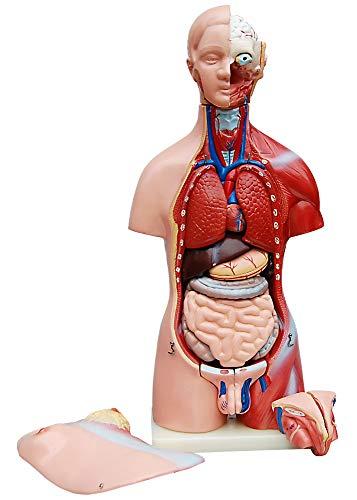 Torso, Mann und Frau, 45cm, 23 Teile, Anatomiemodell