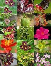 vegherb Jatropha Mix Landschaft Pflanze Purgiernuss Caudex Blume Sukkulente Wüste 30 Samen