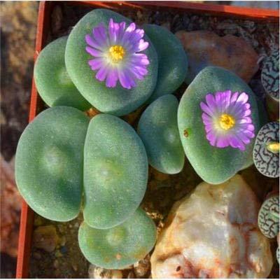 500 / bag echte mini sappige bonsai zeldzame sappige overblijvend kruid bloemen kamerplanten thuis tuindecoratie: 100st-6