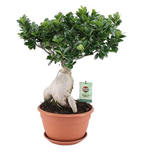 "Ficus microcarpa\""Ginseng\"" | Chinesische Feige | Bonsai Baum | Höhe 50-55cm | Topf-Ø 22cm"