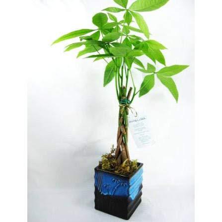 Jmbamboo- 5 Money Tree Plants Braided Into 1 Tree -Pachira with 4' Dark Blue Ceramic Pot