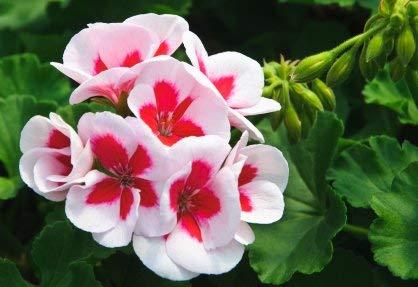 Balcon rouge et Géraniums Potted blanc Graines de fleurs en pot Plantes Diy jardin 20 Pieces/Lot Bleu