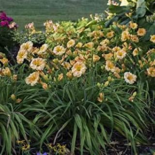 1 Gallon Pot: Hemerocallis Rainbow Rhythm 'Orange Smoothie' PP28648 Daylily.Orange-Mango Petals with a Light Rose Band; rebloomer. Salt Tolerant. Fragrant.