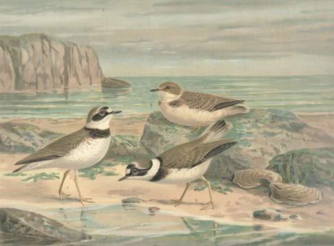 Flussregenpfeifer. Charadrius dubius Scop. Männchen im Sommerkleide. Weibchen im Sommerkleide. Jugendkleid. Chromolithographie.