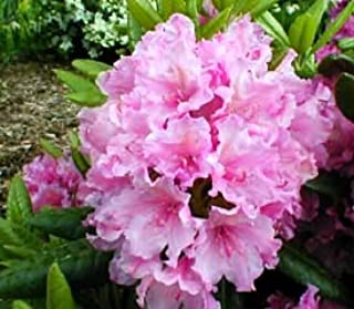 Rhododendron Haaga - Bright Pink with Lighter Edged Blooms - Grows Five Feet Tall - 30