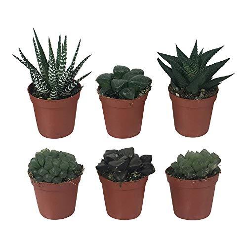 6x Zimmerpflanzen Sukkulenten | Mini Haworthia | Pflegeleichte zimmerpflanzen | Höhe 5-10 cm | Topf Ø 5,5 cm