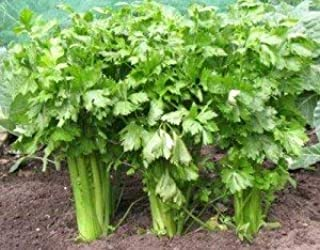 Celery (Tall Utah 52-70 Improved) Seeds, 2,000+ Premium Heirloom Seeds, ON Sale!, (Isla's Garden Seeds), Non GMO Organic Survival Seeds, 99.8% Purity, 90% Germination, Highest Quality!