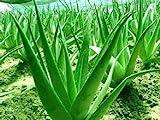 20 Aloe Mix Semillas - Plantas de interior Excelentes suculento Aloe Vera SEED