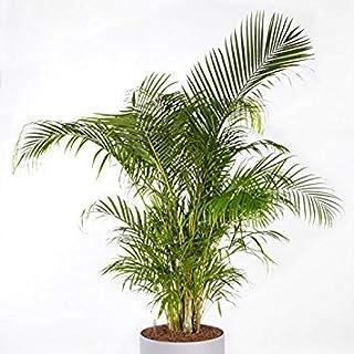 VISA STORE Dypsis (Chrysidocarpus) lutescens es una semilla muy tarde. Antes de la