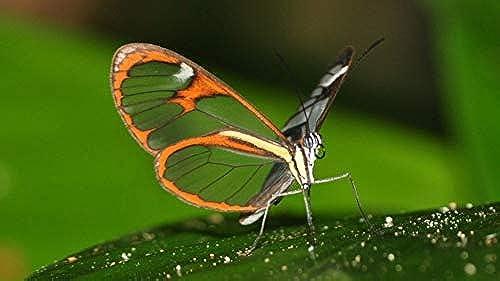 LIWeißY DIY maßen Nach Zahlen Kits,  em e, maßen Nach Zahlen Für Erwachsene Leinwand Home Decor, Sch  Schmetterling Auf Blatt, Mit Rahmen, 50x6cm