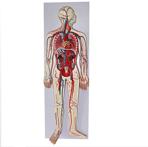 Modelos de ciencia de anatomía humana: modelo del sistema c