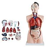 JKFZD Modelo de anatomía Torso Macho órganos internos anatómicos Humanos para recursos de Aprendizaje (Size : 88x39x30cm)