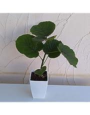 フィカス ウンベラータ 4号鉢植え[葉が美しいゴムの木]