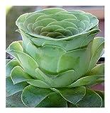 41XLDDQRO3L. SL160  - Ces Roses Vertes sont une Espèce Rare de Plantes Grasses - Plantes, Photographie, Fleurs, Déco, Amazon