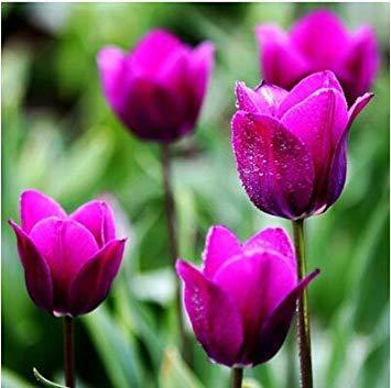 VISTARIC Plum: 200pcs Bonsai Fleur Petunia Pétales couleurs mélangées Double Petunia Hybrid Seeds avec le pack professionnel une décoration pour jardin Plum