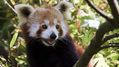 GHIJVYG Pinturapornúmeros de Pintura al óleo para Adultos niños Pintura por número Kits Decoraciones para el hogar -Animal de árbol de Panda Rojo 16 * 20 Pulgadas
