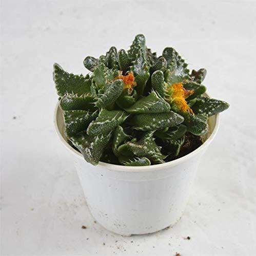 Pianta Grassa Faucaria Tuberosa, Vaso 10cm, Altezza 5/10cm