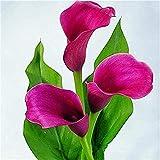 3 Pezzi Calla Lily Bulbs Balcone In Vaso Giardino Domestico Non Calla Lily Seeds Colori Esotici Esotici Essenziali Per La Semina Indoor E Outdoor Alto Tasso Di Sopravvivenza In Rapida Crescita