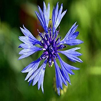 Potseed 1000 pcs/Sac Graines Rare Fleur Bleue Centaurea cyanus Graines OutdoorHome Jardinage Semer