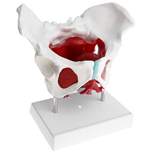 Baoblaze 1: 1 Lebensgroßes Weibliches Becken mit Steißbein, Kreuzbein, Pubis und Abnehmbar Organe Beckenboden Muskulatur Anatomische Modell Laborbedarf