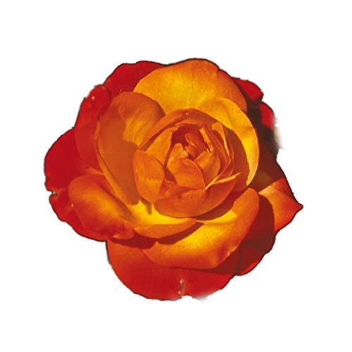 Tempi Moderni®, rosaio vivo Rose Barni®, rosa profumata giallo oro, arancio e vermiglio, pianta...