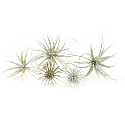 Chive - Tillandsias/claveles del aire artificiales. Bromeliáceas, plantas. Surtido núm. 1, paquete voluminoso de 5 unidades