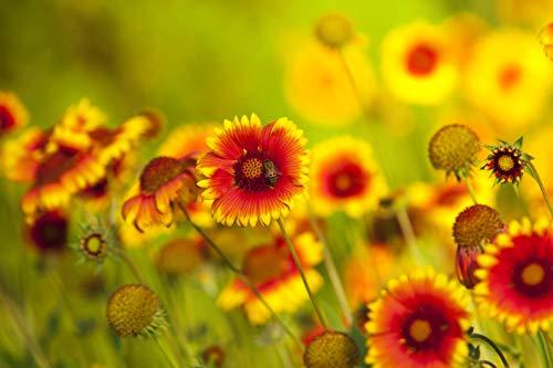 rote und gelbe Coreopsis-Blüten