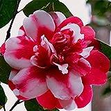 potseed . grandi fiori 100% reale camelia fiori in vaso della pianta 24 colori disponibili casa e giardino 2pcs / pack: 11