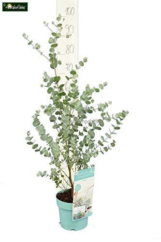 Zwerg Eucalyptus - Eucalyptus gunnii Azura - verschiedene Größen (40+cm - Topf Ø 17cm)