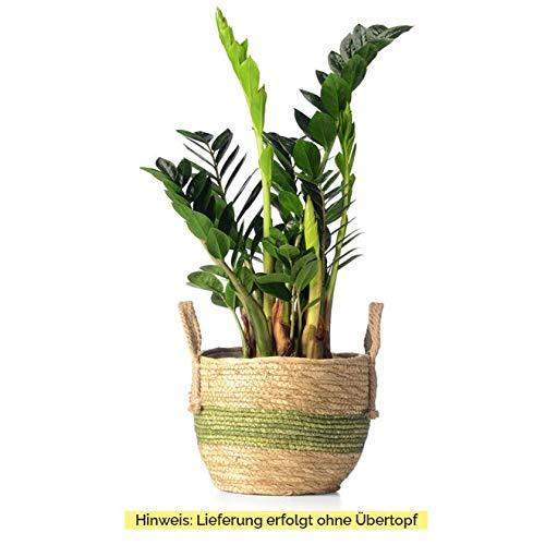 Sense of Home Zimmerpflanze Zamioculcas - trendige & pflegeleichte Indoorpflanze mit großen Blättern - Liefergröße ca. 60 cm