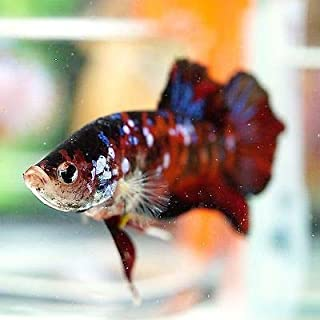 SevenSeaSupply Live Male Galaxy Betta Tropical Fish