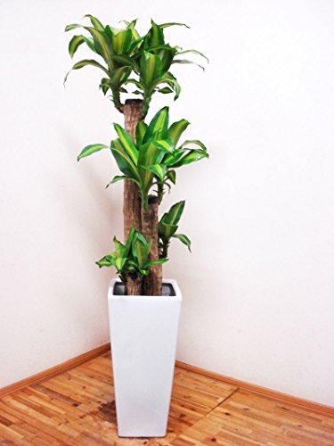 花言葉は幸福!!人気のロングスクエア陶器鉢仕立てのドラセナ・マッサンゲアナ(幸福の木)4本仕立て/130センチ前後(9号)