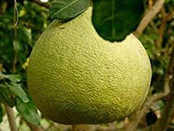 Potseed Germination Les graines: 20 graines, Pomelo Pamplemousse, Citrus Maxima, Fruits, Graines de Thaïlande