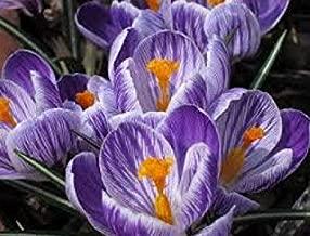 Pickwick' Large Spring Flowering Crocus - King of The Striped x 50 Bulbs - Free UK P & P