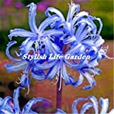 HANO Sales! 100Pcs Spider Lily Flower Bonsai, Perfume Lily Flower Flores,Rare Lily Flower Garden Plant, Yard Balcony Decoration : 15