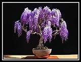Jacaranda Mimosifolia - 60 semillas de bonsái - árbol - siembra todo el año
