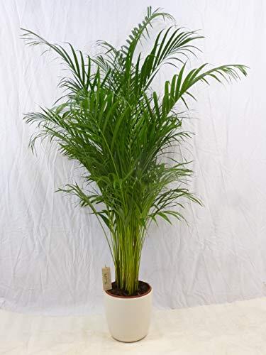[Palmenlager] Goldfruchtpalme 190-220 cm - Areca Palme - Topf 24 cm Ø/Zimmerpflanze Zimmerpalme
