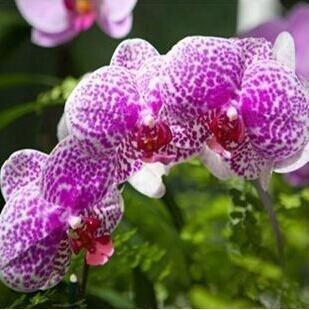 10pcs/lot papillon graines d'orchidées, fleurs d'intérieur bonsaï quatre saisons, Phalaenopsis Orchidées jardin à la maison 19