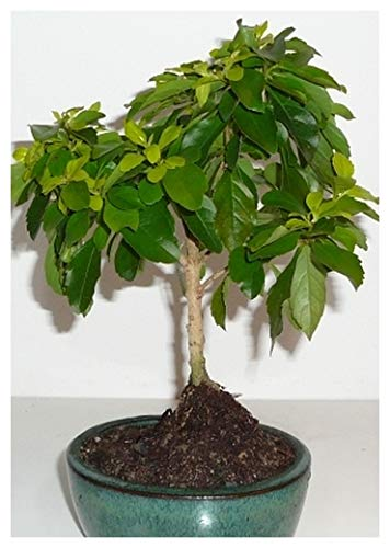 TROPICA - Vanillier de Cayenne (Duranta repens) - 10 graines- Bonsai