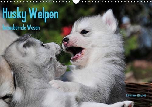 Husky Welpen (Wandkalender 2021 DIN A3 quer)