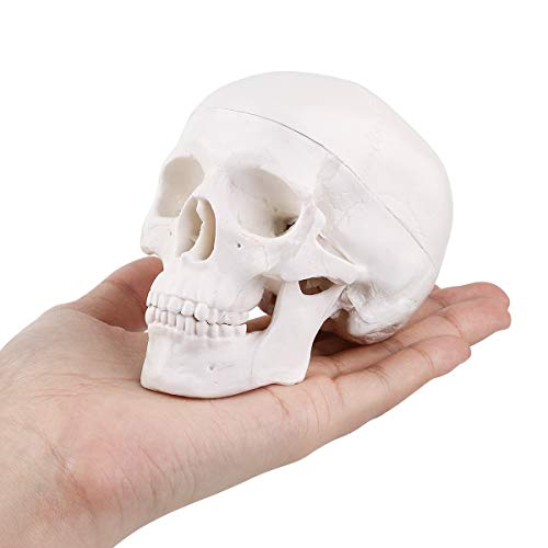 Winyousk Mini Human Skull Anatomical Model, Miniature Human Anatomy Head Skeleton Model with Removable Skull Cap and Articulated Mandible, Full Set of Teeth