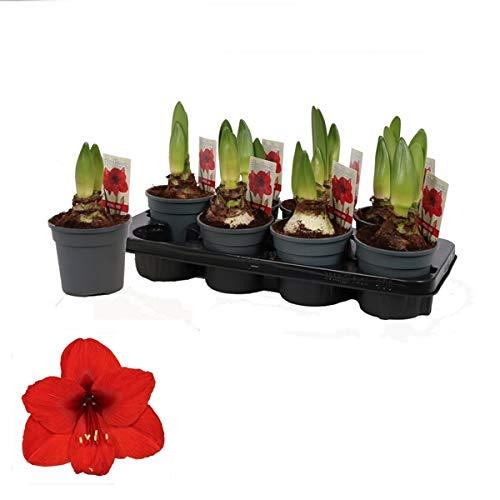 Amaryllis im Topf Rot 2 Triebe - Ritterstern - Hippeastrum - Blumenstrauß