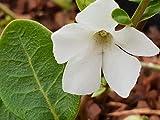 Portal Cool Las Semillas del Paquete: Vinca Minor 'Alba' - Evergreen - Semillas Cubierta - 1Litre - Bueno para Las Abejas