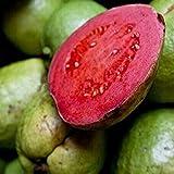 ASTONISH SEEDS: 10 Semillas/pack DIY de Plantas de jardín frescas semillas de guayaba Psidium guajava tailandesa Rosa grandes los pomos envío