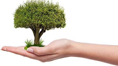 Riesentanne Abies grandis 100 Samen