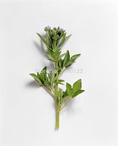 50PCS alholva semilla semillas de alholva HIERBA hierba china para la salud y el cuerpo fuerte