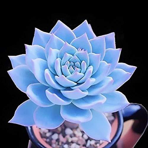 Echeveria subsessilis BLUE selten saftig Henne und Küken Pflanzensamen 100 SEEDS