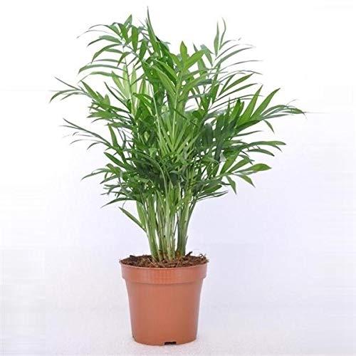 Bergpalme 30 cm Chamaedorea elegans Zimmerpflanze