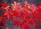Acero rosso giapponese'Acer palmatum Momiji' vaso ø18 cm h. 1/1,5 m